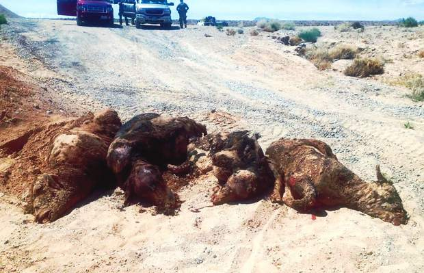 "Recent online photos of dead cattle being dug out of pits piqued the question of how many cattle were killed and buried. Cliven Bundy said there were only six head in the mass grave, with another two bulls found shot outside the grave. ""I also have 27 calves who were separated from their mothers, and based on the BLM's count am still short a total of 29 head. We don't know if they are dead, were hauled out, or if the BLM's count was inaccurate,"" explained Cliven. Photo courtesy Bundy family"