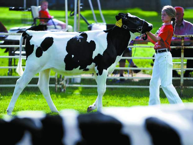 Lauren Myers, 4, shows her cow during the Colorado Dairy Youth Extravaganza on Tuesday at Island Grove Regional Park in Greeley.