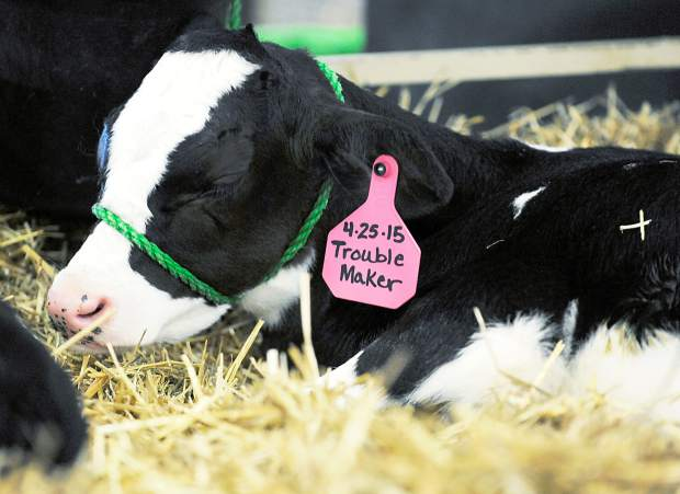 A calf, named Trouble Maker, rests in his pin as during the Colorado Dairy Youth Extravaganza on Tuesday at Island Grove Regional Park in Greeley.