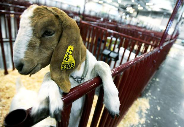 A goat peeks out of the pen during the check-in period for the Weld County Fair's goat show on Tuesday at the Island Grove Events Center in Greeley.