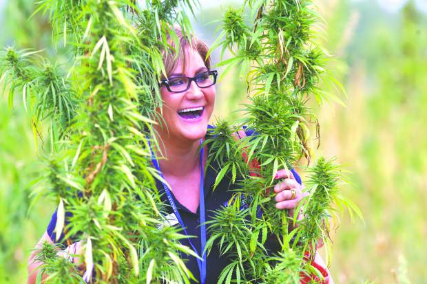 Liz Schneider, of West Greeley Conservation District, places her head between two hemp plants for a photo Friday at TLC Farms, in Galeton.