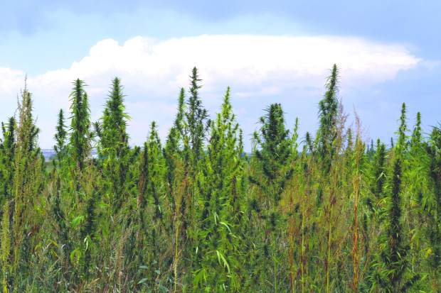 There are about a million hemp plants at TLC Farms, in Galeton.