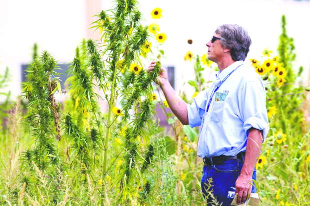 John Eisemann, of the USDA Animal and Plant Health Inspection Service, observes a hemp plant Friday at TLC Farms, in Eaton. The farm has around one million plants throughout 40 acres of land.