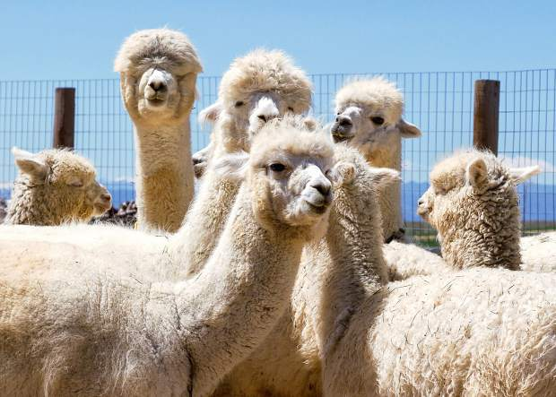 Alpacas have been raised as domestic livestock for thousands of years and since the end-product of alpacas is their fleece, they are classified as livestock by both the United States and Canadian governments in the same way that sheep are.