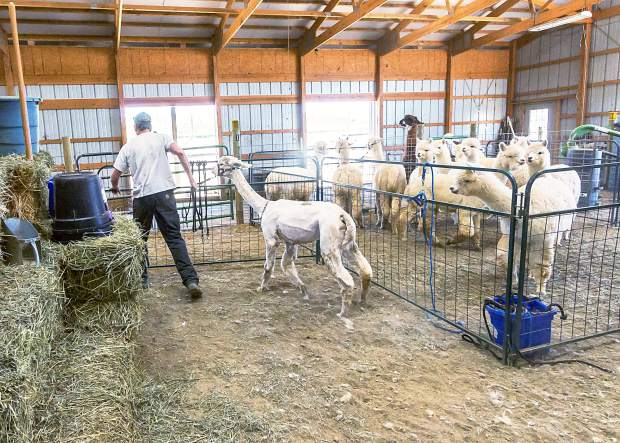 Chris Powers, owner of Sixth Day Farms West in Wellington, Colorado, leads a recently shorn Alpaca back to its outdoor pen while animals waiting their turn look on.