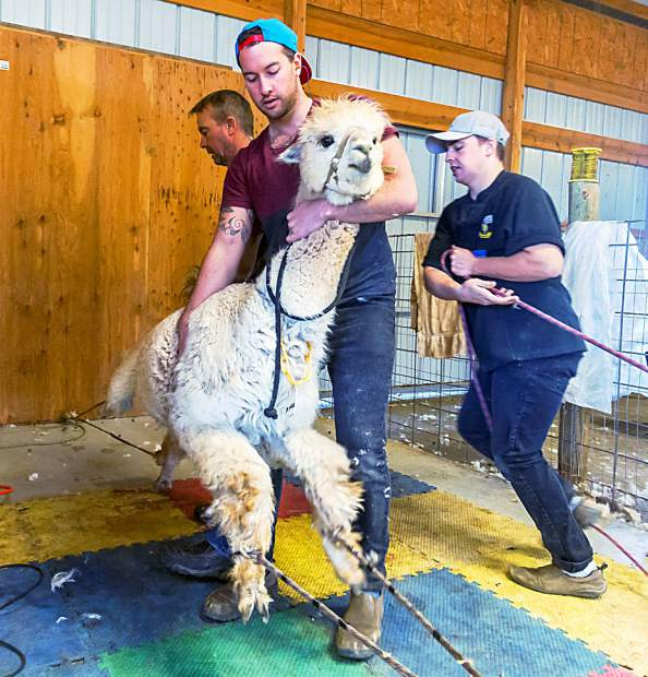 Alpacas are not like sheep, which are calm and submissive when their feet are off the ground. To protect the larger and more active alpacas, they are stretched out, laid down, and restrained with a pulley system. The New Zealand shearing crew consisting of Paul Smith on back legs, Paul's son Bradly Smith lifting the animal, and Mason Heslop tightening the pulley, does the job quickly and efficiently.