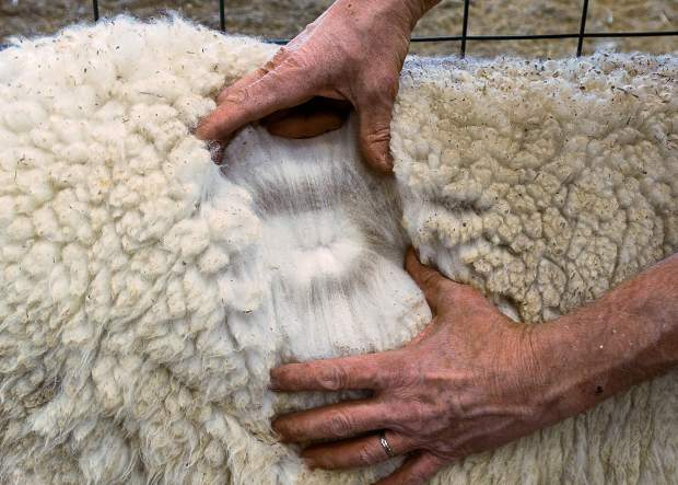 Sixth Day Farms uses the Huacaya type of alpaca which produces a dense, soft, crimpy, sheep-like fiber. Alpacas come in 22 natural colors, with more than 300 shades, however, white is predominant, because the white fiber can be dyed in the largest ranges of colors.