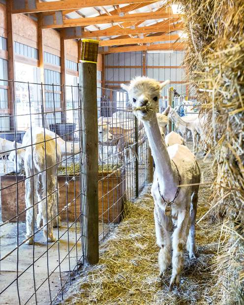 It is alpaca shearing season at Sixth Day Farms in Wellington, Colorado. Qne hundred and twenty-five alpacas are gathered up and sent to the specialized shearing crew which has traveled from New Zealand to do the job.