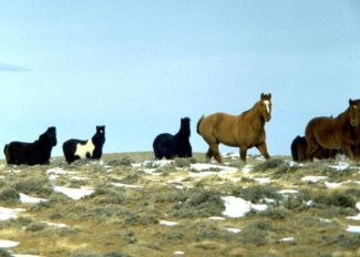 """The Bureau of Land Management rounded up 41 head of """"estray"""" horses from public lands in Wyoming, causing a backlash from wild horse advocacy groups. (Photo courtesy of the Bureau of Land Management)"""