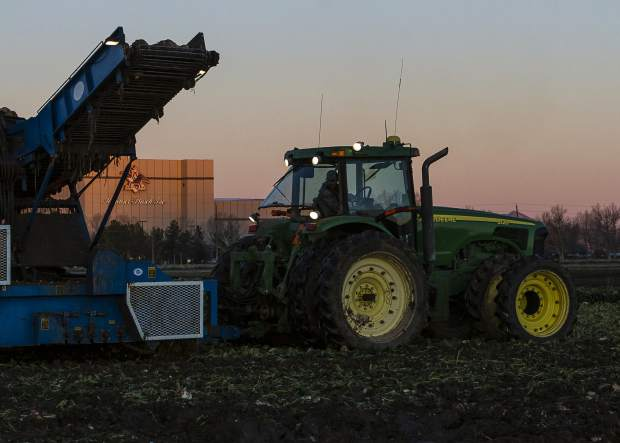 As the pre-dawn light touches the top of the Budweiser plant, the Schnorr Farms sugar beet harvesting crew which has been hard at work since 2 a.m., is still working on this field and will continue until sundown. The next day begins again at 2 a.m., as they race with the coming of winter to finish the harvest.