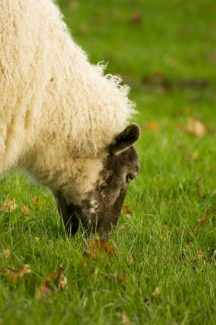 Sheep's lunch