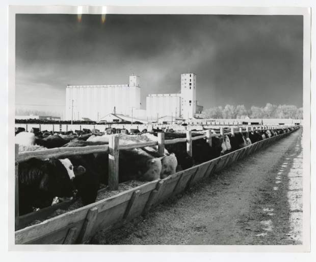 Cows eat at the Monfort Feedlots north of Greeley in February 1966. Sugar beet byproduct was originally used to supplement feed for cattle, creating a unique relationship between feed lots and sugar beet producers in northern Colorado.