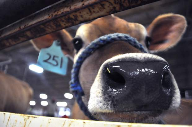 A diary cow pokes her nose through a gate at the Colorado Dairy Youth Extravaganza. Kids participated in a quiz bowl, showmanship clinic and more.