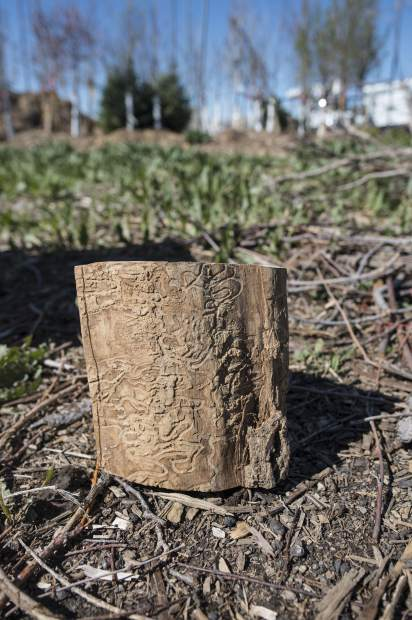 A block of ash tree sits on the ground, displaying the s-shaped galleries made by the emerald ash borer on May 3 at 5200 Pearl Parkway in Boulder.