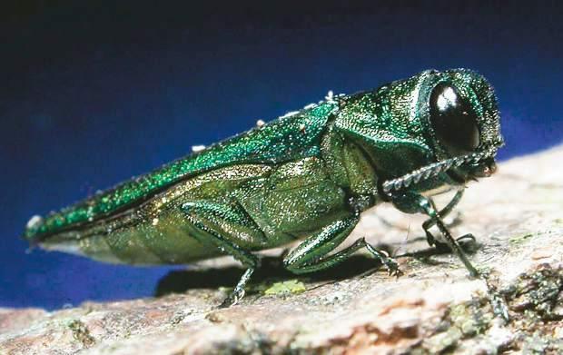 The emerald ash borer is extremely destructive. The non-native beetle from Asia has already claimed at least 50 million ash trees in 25 Midwest and east coast states.
