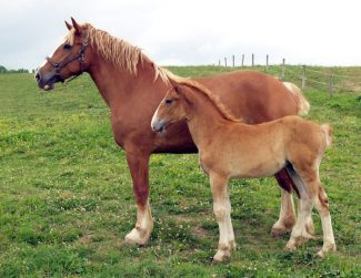 Springhill Lisa pictured as a 5-year-old with her  filly colt.