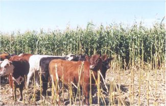 The whole corn plant meets the energy requirements necessary to deposit fat on a near-finished steer. Courtesy photo.