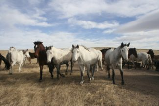 Horses L24 Multi-Chem Grakel Trail, N47 Long Gone Laredo, M28 Fire N The Hole and N11 Cat Daddy hang around the feeders while waiting for their daily grain ration.