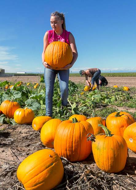 Ashley Boggs harvests some of the bigger pumpkins during final preparation for the opening of the Pumpkin Patch at the Fritzler Corn Maize in LaSalle, Colorado. The Corn Maize will be open September 20th through November 1st.