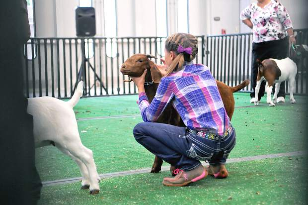 Karsyn Fetzer corrects the position of her goat Hershey during judging at the Weld County Fair Goat Show on Sunday at Island Grove Park.
