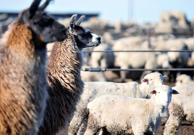 A pair of llamas stands among the flock of sheep last week at Double J Farms and Feeding outside of Ault.
