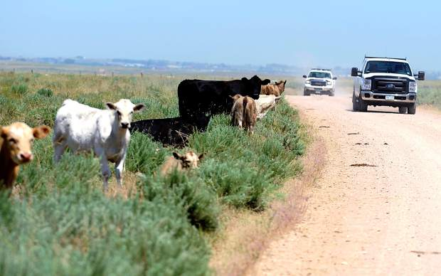 Oil field traffic makes its way down a dirt road as cattle line the sides of the road on the Guttersen family ranch. Oil well workers are trained to be very careful while driving on the roads. Guttersen said if he finds workers kicking up dust, he tries real nicely to explain,