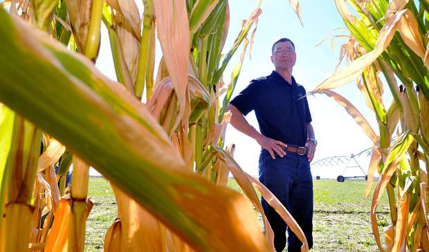 Mike Sever peers into the rows of corn that were grown on their test plot near near Milliken using the HydroLoc blend he and Bruce Sandau devised as a soil amendment to help reclaim areas disturbed by oil and gas drilling.