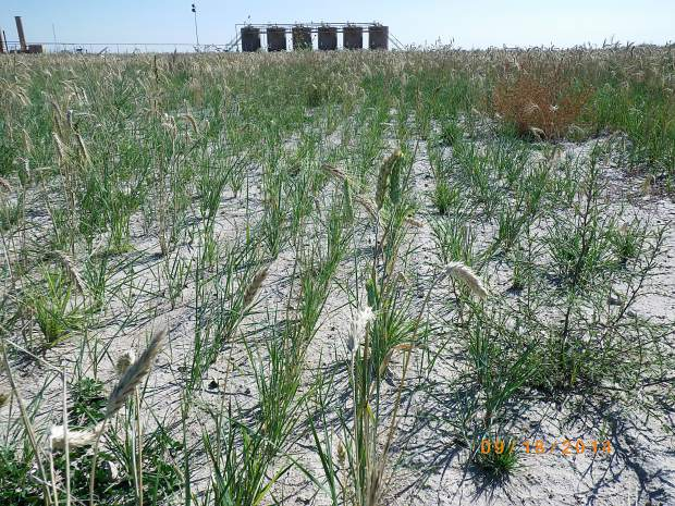 Reseeded grass on the Wells Ranch in central Weld County shows faster growth that withstands grazing in its second year. The grass was planted with the HydroLoc blend to reclaim land disturbed by oil and gas drilling.