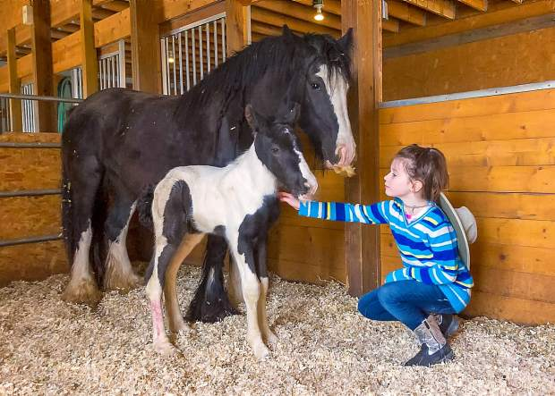Seven-year-old Jessie Laffey with Maddie and her new colt, Laffey's Triumph. The sire is Bees Knees from the LexLin Gypsy Ranch in Tennessee. You can really get a feel for the mellow disposition and gentle nature of these horses when you consider that the colt is barely 12-hours-old.
