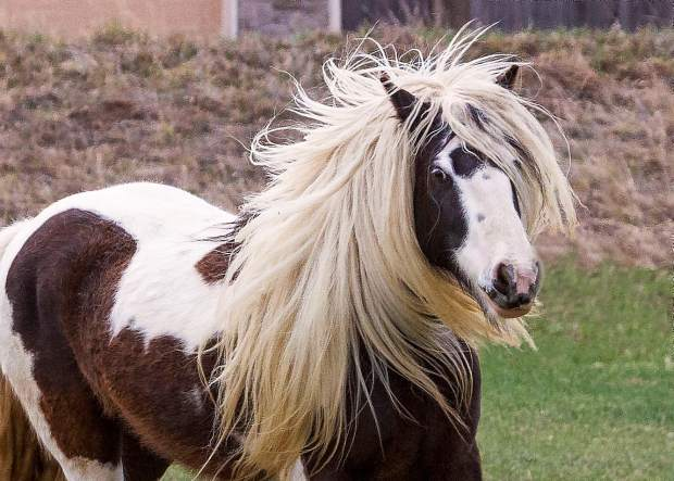 The Gypsy Vanner is known for its long, thick mane and tail, and for feather that starts at the knees and hocks and runs down the front and back of the legs and covers the hooves.