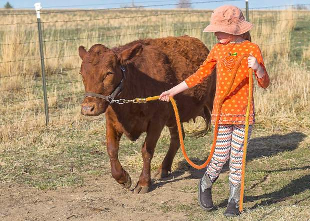 Nine-year-old Audrey Laffey leads Daggett's Heather, a mature, pure bred red Dexter cow. All of the Dexters at Laffey's Irish Animals, including the bull, are halter broke and easily lead.