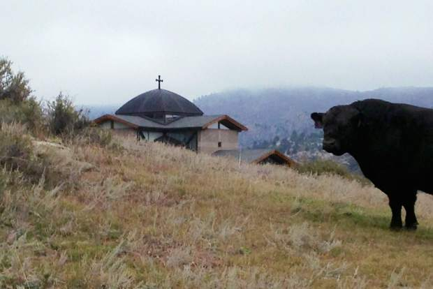 Pops, the bull, in front of the abbey's chapel.