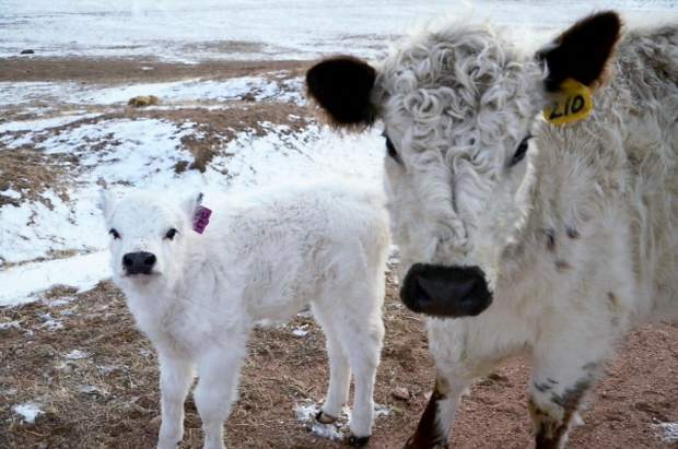 A white Galloway cow/calf pair on the ranch at the Abbey of St. Walburga.