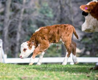How to raise an orphan calf