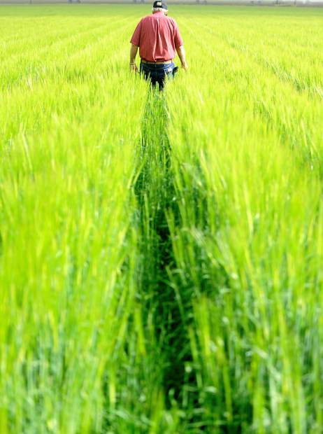 Sunlight illuminates the rows of barley as Frank Eckhardt walks through the field Tuesday morning south of LaSalle.