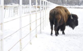 A bison glances back while walking along the fence Tuesday afternoon at Spomer Ranch in Milliken. The Westminster-based National Bison Association petitioned to have the USDA begin its study.