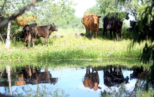 A small pond catches the reflection of a small group of grazing cows on Wednesday west of Greeley. The cattle industry is one of the many impacted by competition for water in the state.