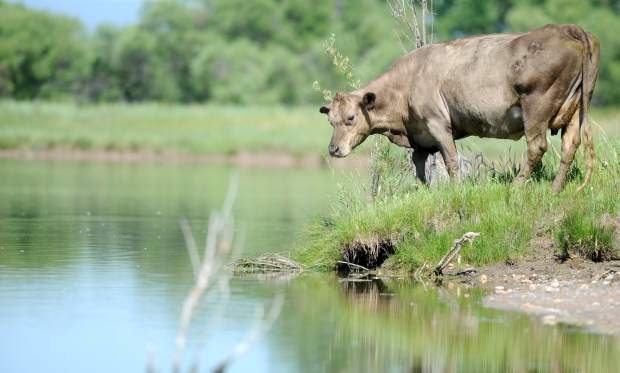 A cow grazes near a small lake off of the Poudre River on Wednesday west of Greeley. At the Colorado Cattlemen's Association, ranchers and other ag industry professionals expressed concerns about the state of water in Colorado.