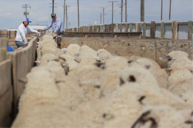 Jorge Saenz, left, and Jose Lopez sort and size sheep to determine which ones are large enough for processing on Tuesday at Double J Farms and Feeding in Ault.