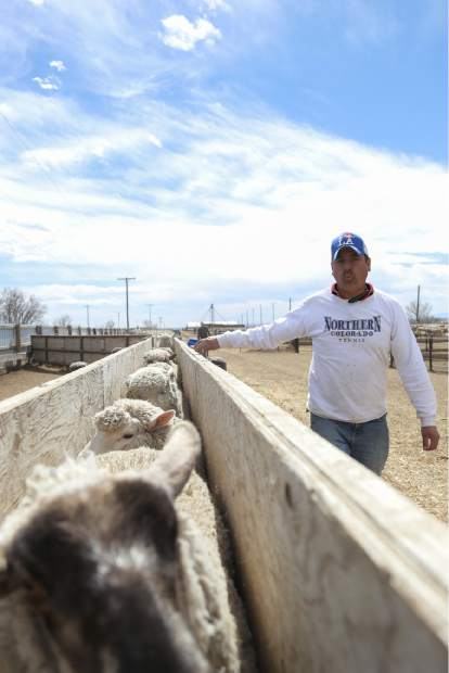 Jorge Saenz helps corral sheep before they are sized for processing on Tuesday at Double J Farms and Feeding in Ault.