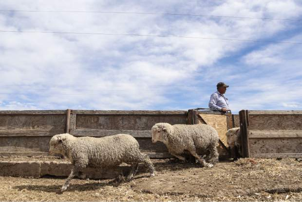 Jose Lopez opens a gate for sheep as he determines which ones are large enough for processing on Tuesday at Double J Farms and Feeding in Ault.
