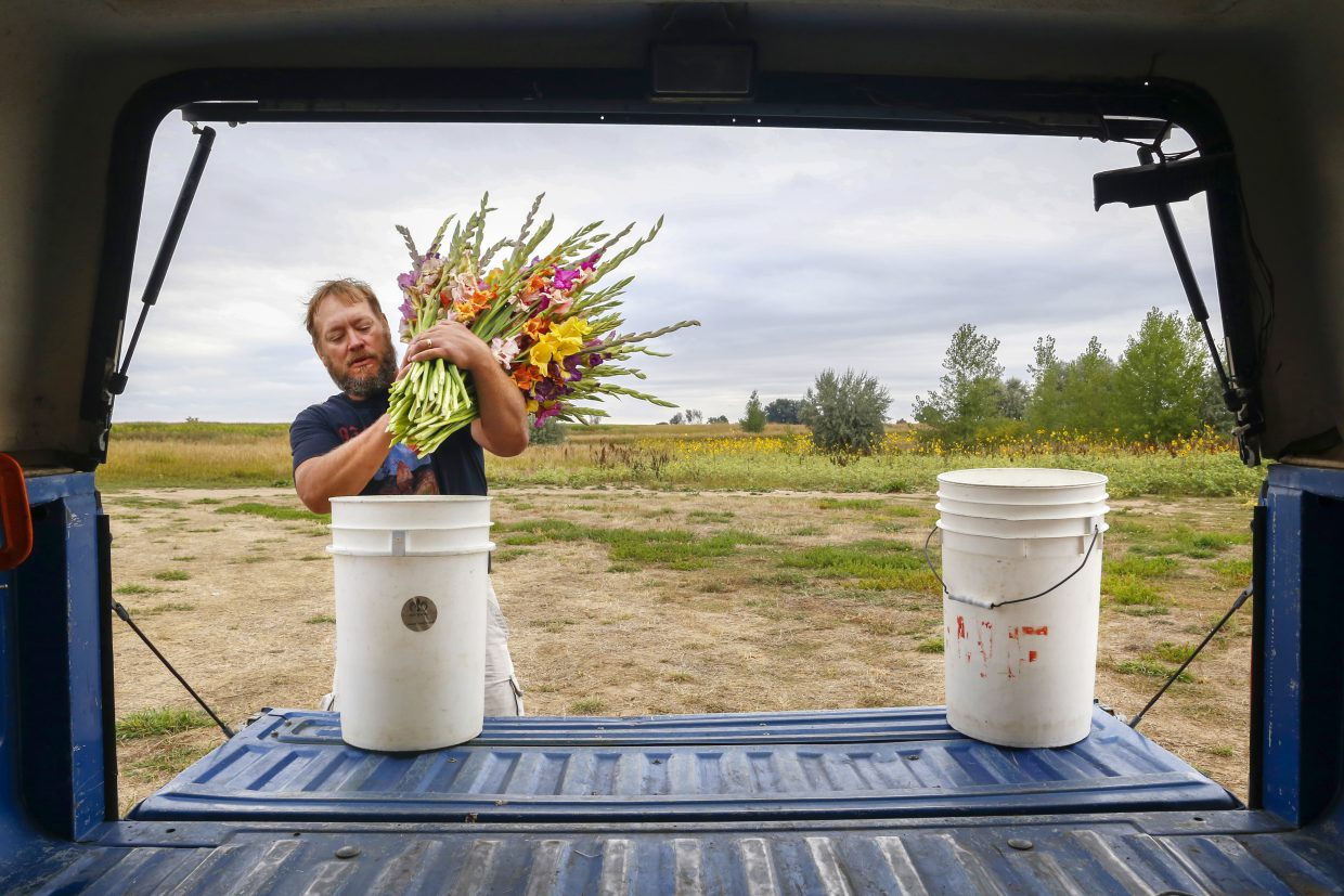 Matt Carson, owner of 934 Farms, north of Milliken, drops his fresh cut gladioli into a bucket in the back of his truck Tuesday morning. Carson cut the flowers from his field earlier that morning and will sell them to local florists and at farmers markets.