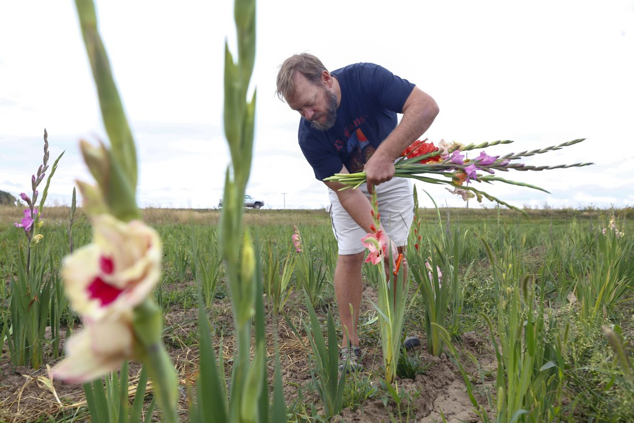 Matt Carson has a specific cutting technique to allow the gladioli to grow again next season.