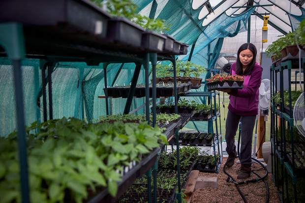 Hanmei Hoffman carries some plants she has grown on her farm in north Greeley. She plans to transfer the budding plants to her garden when the weather warms up.