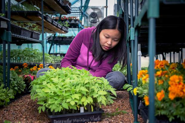 Hanmei Hoffman tends to plants inside her greenhouse on Friday morning in Greeley.
