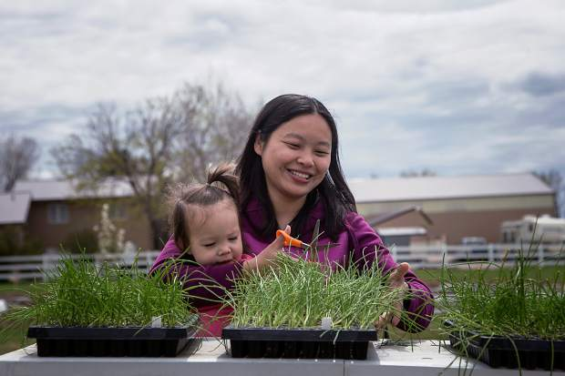 Hanmei Hoffman and her daughter, Zoey, trim green onions at their small farm on Friday morning in Greeley.