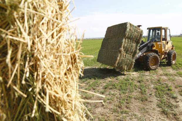Ranch hand, Jose Rodriguez, uses the loader to move bales of hay onto the flatbed of the truck Tuesday afternoon in Greeley.