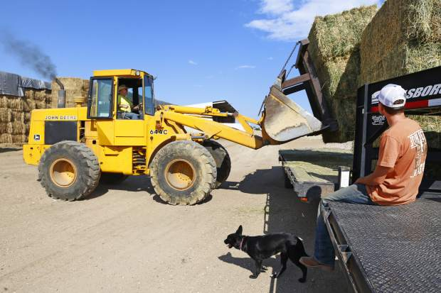 Brock Buxman, waits as his father Ron, unloads bales of hay off of the flatbed of the truck Tuesday afternoon at Buxman Dairy and Farms, in Greeley.