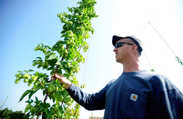 Derrick Hoffman searches through one of his hops vines for the perfect seed cone at his home west of Lucerne on Tuesday off of Colo. 392. Hoffman hopes to have the majority of the hops harvested by the end of the week.