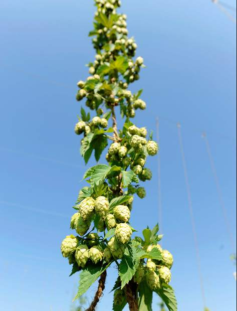 A hops vine stretches upward at a small field on Tuesday west of Lucerne. As the growing season comes to a close hops are among the crops being harvested.